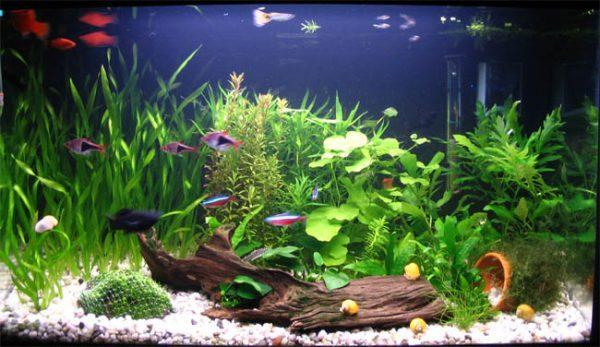Decoraci n de acuarios agua dulce - Decoracion para acuarios ...